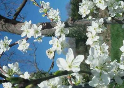 Les fleurs blanches d'un amandier